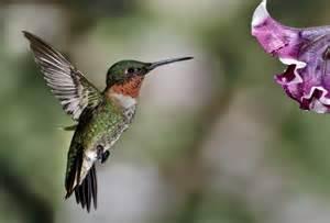 ruby throated hummingbird mark hilliard atelier s blog