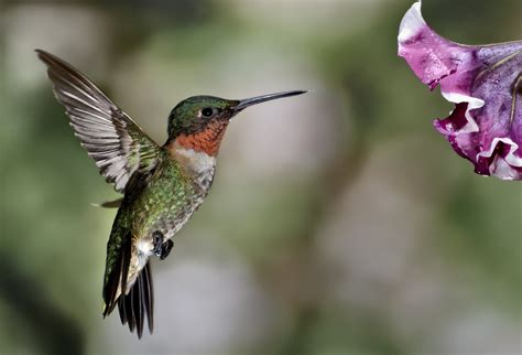 ruby throated hummingbird mark hilliard atelier s blog