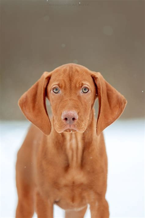 viszla puppies best 20 vizsla puppies ideas on vizsla hungarian vizsla and vizsla