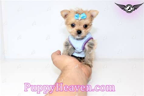 porkie puppies teacup porkie puppy in san jose ca 95120 found a new loving home with