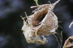 1000 images about nest project on pinterest nests bird