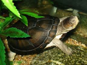 african hinge sideneck turtle for sale reptiles for sale