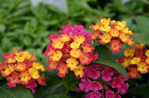 lantana colors lantana michigan gardening web articles