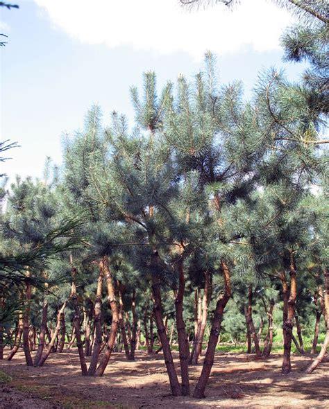 bäume als sichtschutz 2261 24 besten b 228 ume bilder auf pflanzen kleine