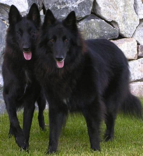 black shepherd groenendael black belgian shepherd groenendael belgian shepherd