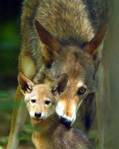 Puppies Born Blind Red Wolf