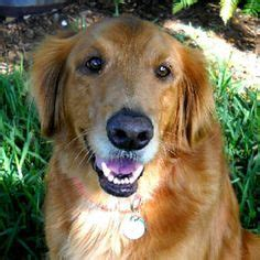 golden retriever ear infections could this be my quot designer chug puppy quot my fur babies