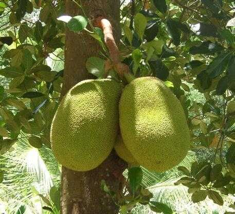 Pohon Angka jackfruit facts health benefits nutritional value and pictures