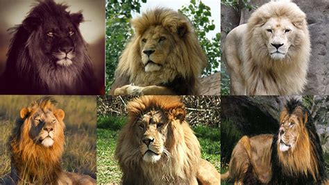 imagenes de leones y gatos maxresdefault jpg 1280 215 720 lion pinterest b 250 squeda