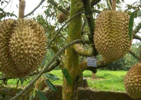 Jual Bibit Pohon Markisa 5 tanaman yang bisa dicangkok