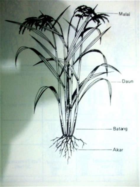 morfologi tanaman padi hanya sebuah tulisan