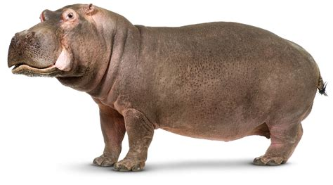 Picture Of Hippopotamus hippo facts for what is a hippopotamus dk find out