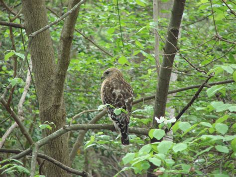 How To Get Rid Of Birds In Backyard by Why Birds Of Prey Make Great Backyard Birds Into The Air