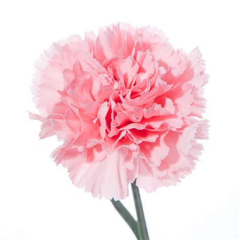 pink carnations flower muse