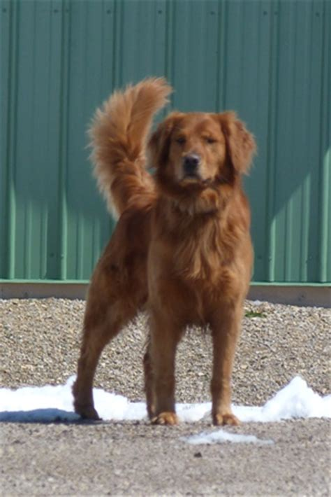 what is a field golden retriever saturday golden retrievers field golden retrievers lewistown montana