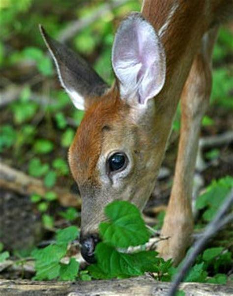 do deer eat geraniums deer resistant plants untamed science