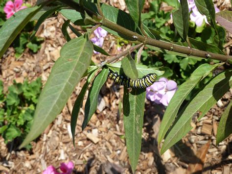 Sanibel Island Botanical Garden Monarch Butterflies Our Sanibel Island Botanical Gardens Sanibel Moorings
