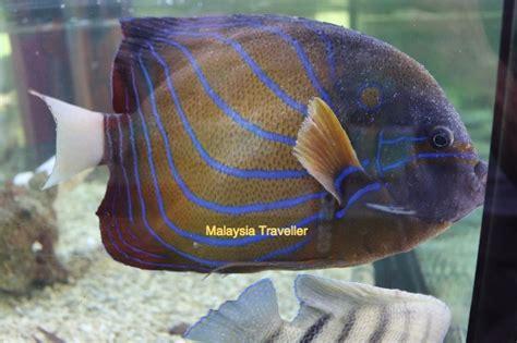 White Fish Bakso Ikan Hiwan pusat ikan hiasan port dickson