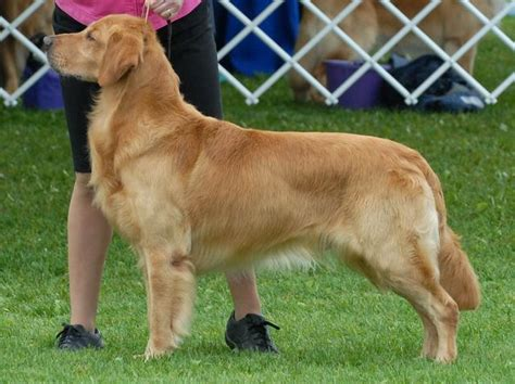 clipped golden retriever 2013 may 23 golden retriever rescue of southern maryland breeds picture