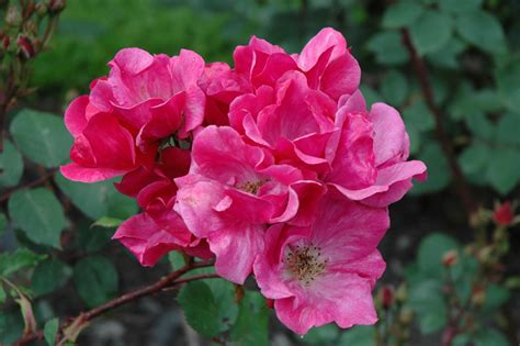 bett rosa betty prior rosa betty prior in island