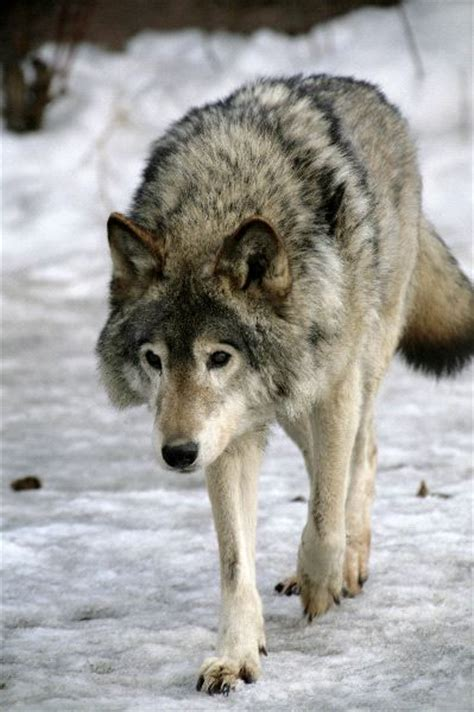 russian wolf russian siberian wolf in snow fields wolf facts and information