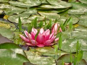 imagenes de flores acuaticas colecci 243 n de plantas acu 225 ticas en barcelona 2 opiniones y
