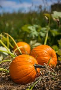 planting pumpkins for growing pumpkins from seeds seed needs