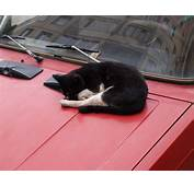 How To Keep Cats Off Cars  Cuteness