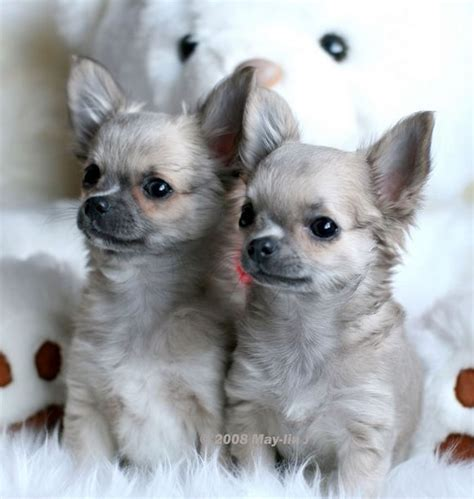 how many puppies do chihuahuas the time 538 best images about chihuahuas on