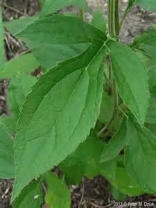 Plant Identification By Flower And Leaf - rudbeckia subtomentosa sweet coneflower minnesota