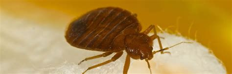 best bed bug exterminator bed bugs exterminators 28 images the best bed bug