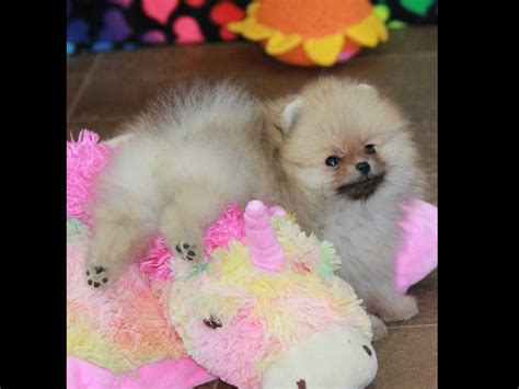 char pomeranians char s pomeranians pomeranian puppies for sale