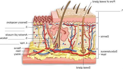 skin anatomy diagram the anatomy of skin human anatomy diagram
