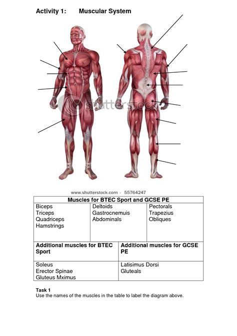 muscles of diagram blank diagrams of muscular system muscular system diagram