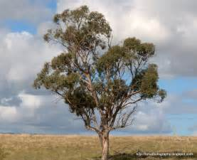 eucalyptus trees eucalyptus tree our country s research