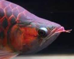 Anakan Arwana Papua 5 tips cara memilih ikan arwana anakan yang