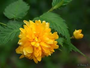 perennial shrub with yellow flowers kerria japanese yellow sherry s place