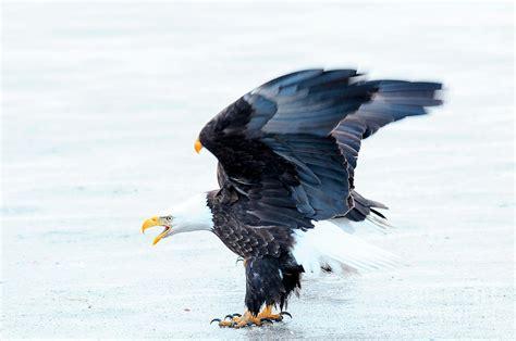 Humm3r Eagle bald eagle on by dennis hammer