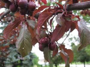 can anyone tell me the name of this purple tree growing fruits garden trees grass lawn