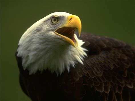 cool eagle wallpaper eagle wallpapers