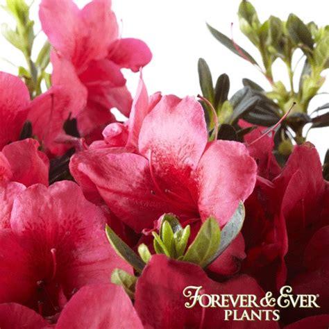 slipper azalea forever slipper azalea bloom forever