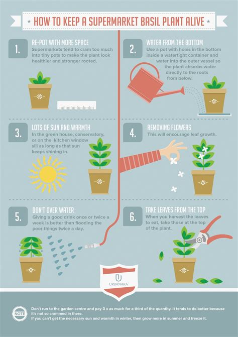 infographic about how to take care of a basil plant alive back yard pinterest basil plant