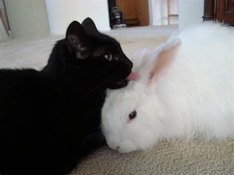 how to a and cat to get along do cats and rabbits get along the pet product guru
