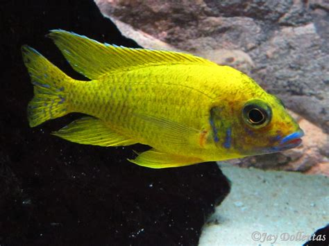 Regal Yellow by Cichlids Yellow Regal