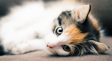 are all calico cats female the gender and color link in female cats