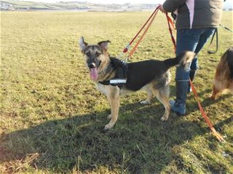 can dogs get mono mono 11 month german shepherd cross for adoption