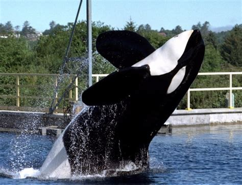famous animals throughout history oregon killer whales