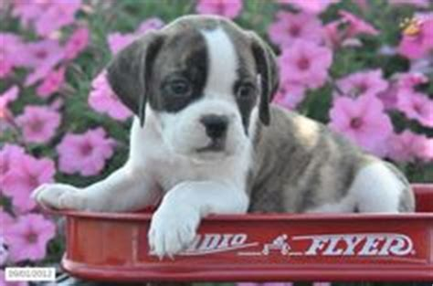 half bulldog half pug this puppy is half bulldog and half puggle pug and beagle mix it may be the