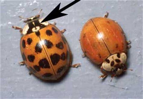 asian beetle beetles missinghenrymitchell