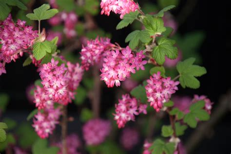 early flowering shrubs cox garden designs - Early Flowering Shrubs